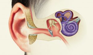 Wonder of the Human Ear - How Do We Hear? -by David Rives